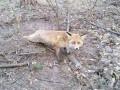 В Киевской области от смерти спасли лису