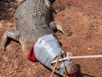 В Австралии поймали 600-килограммового крокодила-хулигана