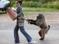 Планета обезьян: павианы терроризируют город (ФОТО)