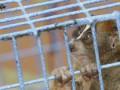 В аэропорту Дели арестовали мужчин, пытавшихся провезти обезьян-лори в нижнем белье