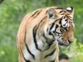 В шведском зоопарке усыпили заболевшую COVID-19 тигрицу