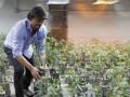 Власти Уругвая хотят продавать марихуану жителям страны