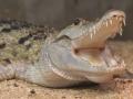 В Белгород-Днестровском с пятого этажа выпал крокодил