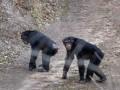 Шимпанзе сбежали из вольера с помощью ветки