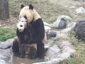 Купание непослушного детеныша панды показали на видео