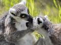 Лемурам грозит вымирание