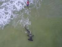 В США поймали двухметровую рыбу-молота