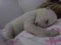 Пользователей Сети растрогало видео со спящим полярным медвежонком