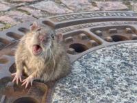 В Германии застрявшую в люке толстую крысу спасла бригада пожарных