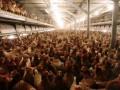 Украина разрешила своим крупнейшим производителям курятины поставки в ТС