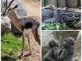 Животные недели: именинница газель, детеныши крокодила и гориллы из Бронкса