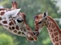 Животные недели: малыш жирафа и орангутан-толстяк
