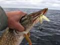 Разрешения на вылов и разведение рыбы будут продавать через ProZorro