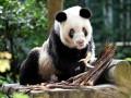 В КНР умерла старейшая в мире панда