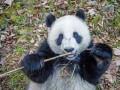 Как растут панды: удивительная программа выращивания медведей (фото)