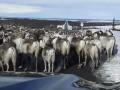 Пробка на трассе из стада оленей попала на видео