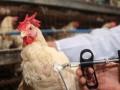 Беларусь запретила импорт птицы из Украины