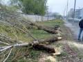 В Киеве неизвестные спилили более 50 тополей