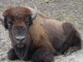 Под Киевом на семью с детьми напало стадо бизонов
