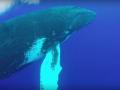 Редкий момент: дайверы сняли на видео прыжок горбатого кита