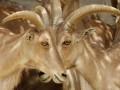 На Гавайях мужчина украл стадо породистых козлов с помощью скотча