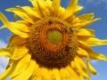 В Украине из-за жары урожайность подсолнечника упадет на 15%