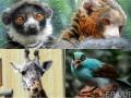Животные недели: Зеленая сорока, лемуры-кокетки и жираф-воображала