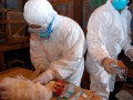 В Японии выявили десятый очаг птичьего гриппа