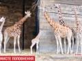 В Британии родился детеныш редкого жирафа