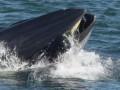 В ЮАР кит проглотил дайвера, затем выплюнул его живым