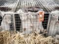Во Франции уничтожат тысячи норок с коронавирусом