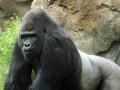 Зоопарк Далласа отправил гориллу-сексиста на реабилитацию