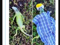 Аномальный холод во Флориде: игуаны оцепенели, а ламантины приплыли греться