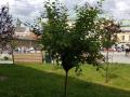 В центре Львова отловили рой диких пчел