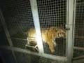 Полиция обнаружила 6 тигров на Жуковом острове в Киеве