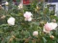 В Мелитополе и Запорожье зацвели розы и сирень