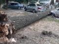 В Киеве сухой тополь разбил припаркованные авто