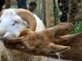 В Китае в День влюбленных поженят барана и косулю