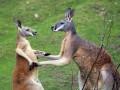 Животные недели: объятия тигров и вальс кенгуру