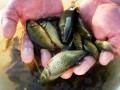 В лимане на юге Украины массово гибнет рыба
