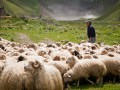 В Грузии молния убила пастуха и десятки овец