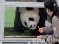 Милых панд с угощениями встречали на родине