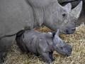 Животные недели: лев в центре Киева и новорожденный носорог