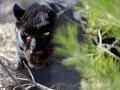 В Подмосковье пантера загрызла украинца