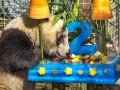 Животные недели: день рождения панды и дайвинг пингвинов
