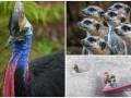 Животные недели: Кузуар в Новой Гвинее, наблюдательные сурикаты и пес-серфингист