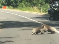 На видео попала драка двух коал на дороге