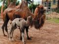 В зоопарке Харькова родился верблюжонок
