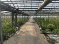 Прикарпатский предпринематель вырастил марихуаны на 50 млн евро