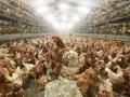 Десятки тысяч цыплят сгорели на птицеферме в Японии
